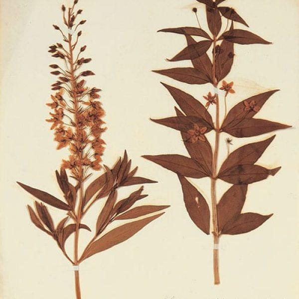 Lysimachia stricta and Lysimachia quadrifolia