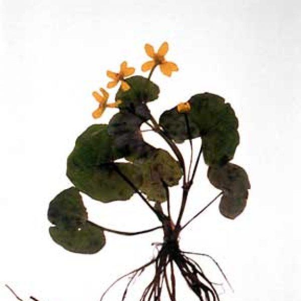 Wild Flora